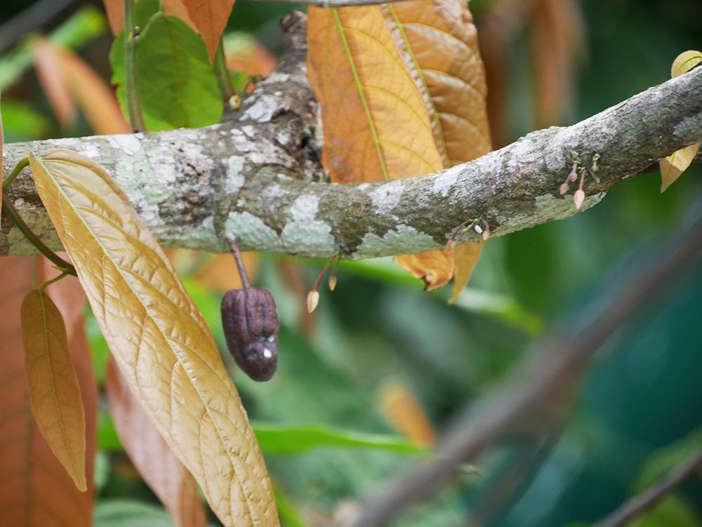 Sweet Farm Tours: cacao- en suikerriet tour in Noord-Queensland
