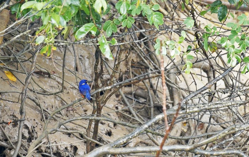 Prachtige Azure Kingfisher gespot bij de Daintree River